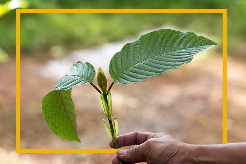 quality-kratom-plant